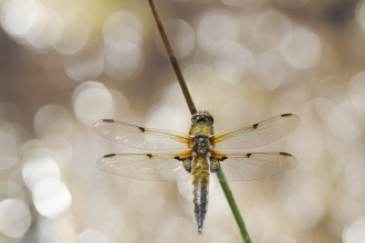 A four-spotted chaser dragonfly resting on a blade of grass