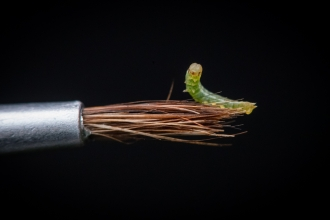 A tiny newborn large heath caterpillar sits on a paintbrush
