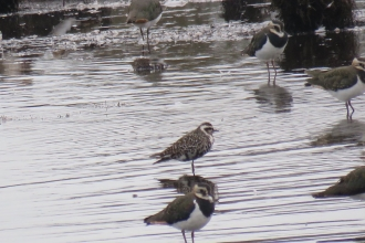 An American golden plover on the Pump Pool at Lunt Meadows