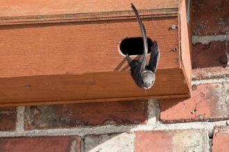 A swift flying out of its wooden nest box