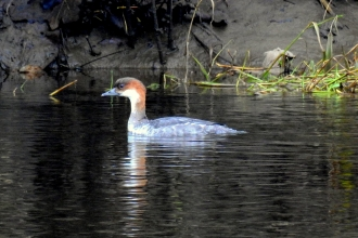 A female smew on Meadow Lake at Lancashire Wildlife Trust's Brockholes Nature Reserve