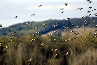 A goldfinch flock flying high in front of trees