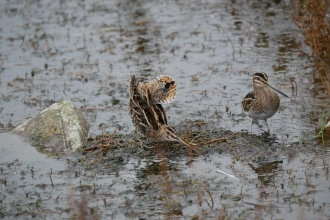 A pair of snipe roosting on a pool at Seaforth Nature Reserve