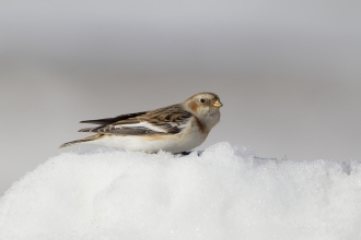 A snow bunting nestled snuggly on top of a pile of snow