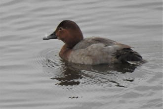 Wigeon by Dave Steel