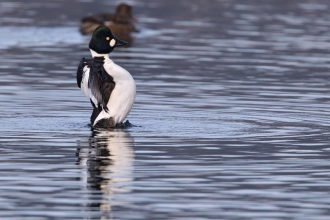 A male goldeneye displaying during a courtship ritual at Brockholes Nature Reserve in Lancashire