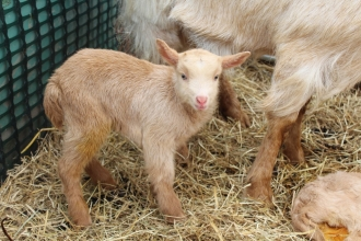 A golden Guernsey goat kid standing in a pen with its mother and sibling