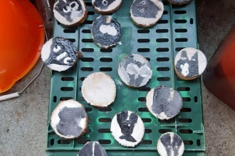 Badger faces painted onto flat stones by a Forest School class