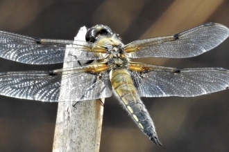 Four Spotted Chaser by Dave Steel