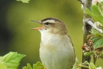 Sedge warbler by Dave Steel