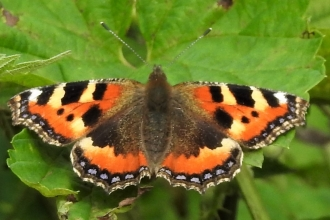 Small tortoiseshell by Dave Steel
