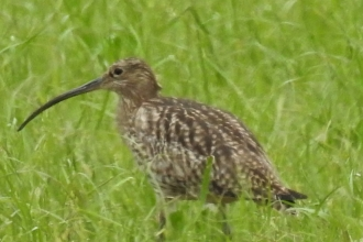 Curlew by Dave Steel