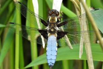 Broad-bodied chaser by Dave Steel