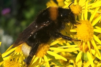 Bombus vestalis by Karen McCartney