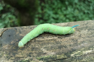 A lime hawkmoth caterpillar resting on a tree trunk at Heysham Nature Reserve