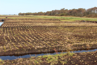 Thousands of plugs of green sphagnum moss planted in rows