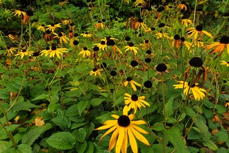A clump of yellow rudbekia flowers