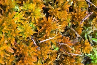 Gold and yellow coloured golden bog moss