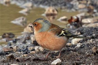 Chaffinch by Dave Steel