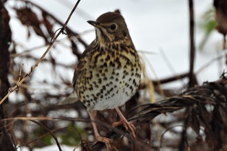 Song thrush by Dave Steel