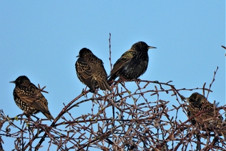 Starlings by Dave Steel