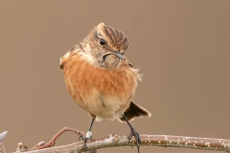A female stonechat standing on a tree branch at Brockholes Nature Reserve in Preston