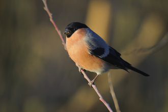 A male bullfinch perched on a twig with bird food around its bill