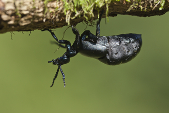 A black oil beetle standing upside down on the underside of a twig