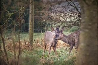 One roe deer nuzzling another in the shelter of trees at Brockholes nature reserve