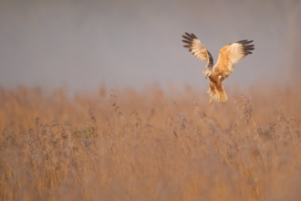 A marsh harrier hovering over a reedbed