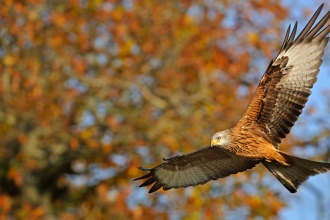 A red kite flying against a backdrop of autumn trees
