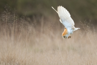 A barn owl diving into grass while hunting
