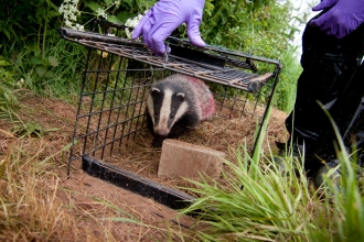 A vaccinated badger being released from a humane trap