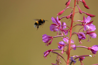 A bumblebee flying towards pink wildflowers to feed