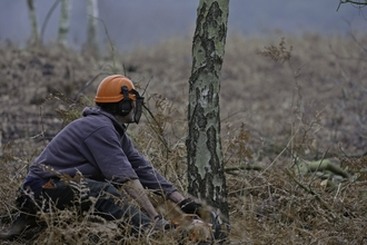 A woman wearing a safety helmet felling a tree on a heathland using a chainsaw
