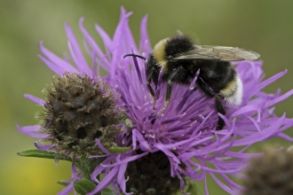 A vestal cuckoo bee drinking nectar from a knapweed flower