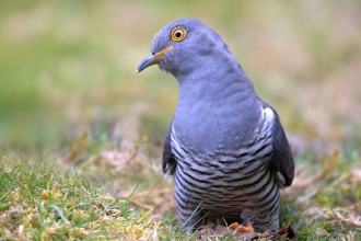 A cuckoo sitting on the ground and looking quizzically at the camera