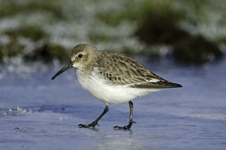 Dunlin in winter plumage walking across ice