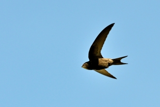 A swift flying across a bright blue sky