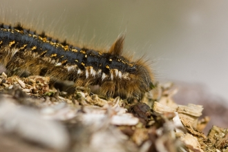 Close-up of a hairy drinker moth caterpillar