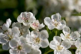 Close-up of white hawthorn blossom