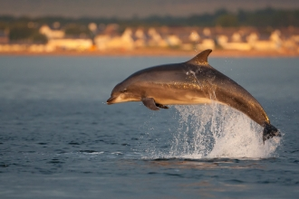 Bottlenose dolphin leaping from the sea