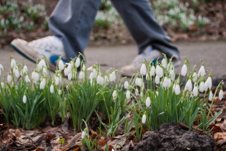 A man walking past clusters of snowdrops growing in a woodland