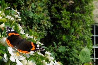 A red admiral butterfly resting on flowers in a garden