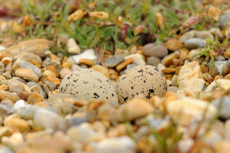 Speckled oystercatcher eggs in a nest on coastal pebbles