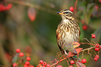 A redwing sitting on the branch of a tree covered in red berries