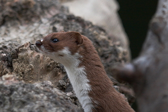 A weasel poking its head out from some rocks
