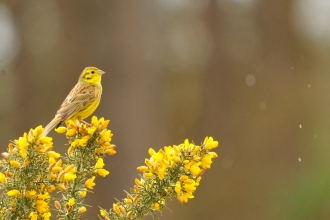 A yellowhammer perched on gorse in the rain