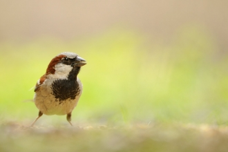 A house sparrow standing on the ground with green vegetation behind