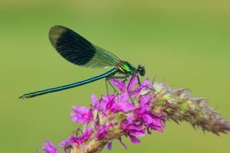 A banded demoiselle dragonfly at rest on pink wildflowers